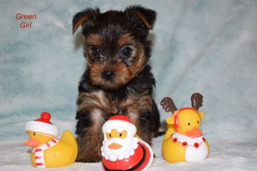 Teacup Yorkies For Sale Under 300 Dollars Classifieds On In Teacup Maltese For Sale In Michig In 2020 Teacup Yorkie For Sale Puppies For Sale Maltese Puppies For Sale