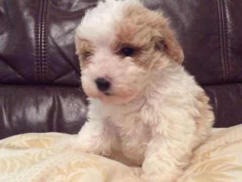 Maltipoo Puppies Puppies Maltipoo Puppies For Sale Maltipoo