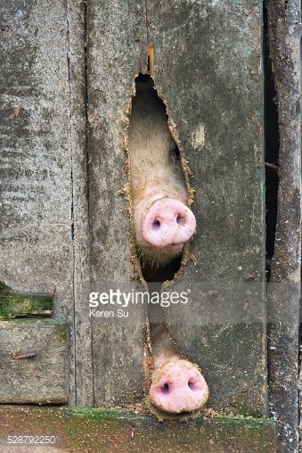 Foto stock : Pig's snout poking from the pig pen