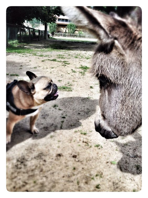 French Bulldog meets a Donkey.