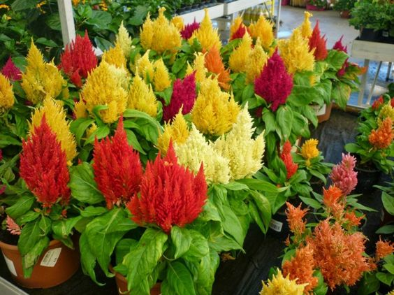 plante plein soleil c losie celosia fleurs en pis en forme de flamme br lente plantes. Black Bedroom Furniture Sets. Home Design Ideas