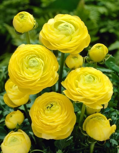 Know Before You Grow Planting Ranunculus Bulbs Is Easy Learn All About Ranunculus Bulbs Including How To P Ranunculus Garden Bulb Flowers When To Plant Bulbs
