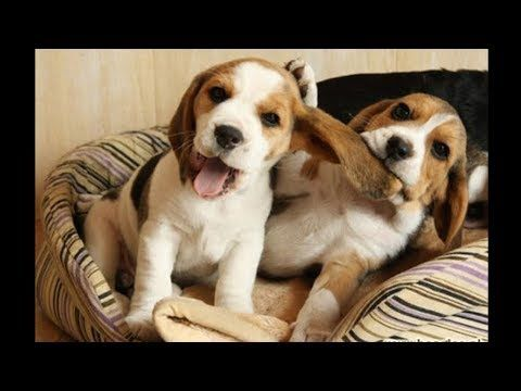 Funny And Cute Beagle Puppies Compilation 1 Cutest Beagle Puppy
