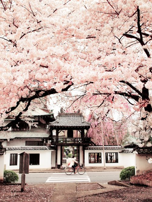 Cherry blossoms at a temple in Sendai, Japan