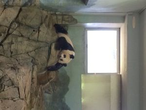 Panda // cute animal // zoo // sleep panda bear // awww