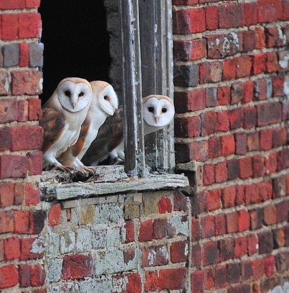 Barn Owls in Norfolk, England by Rob Haynes.