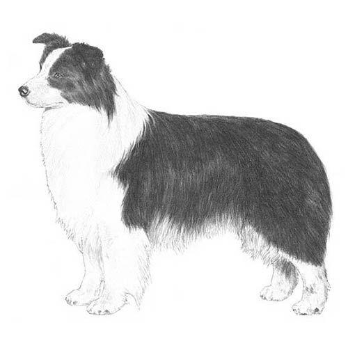 Border Collie Dog Breed Information Dog Breeds Collie Breeds