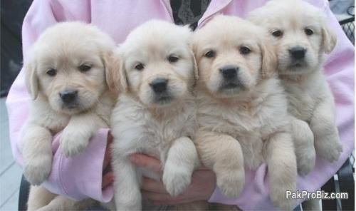 Golden Retriever Puppies For Sale In Pakistan 14254 Retriever