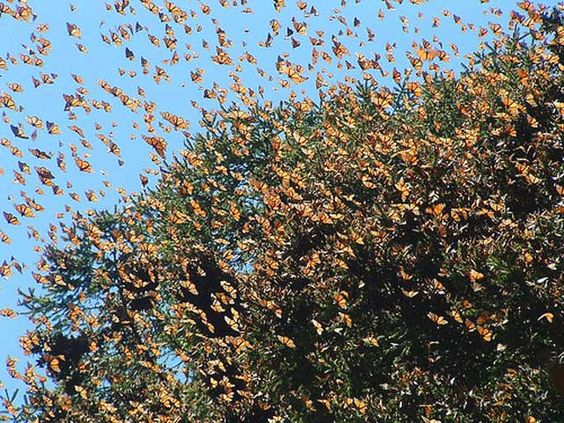 LA MIGRACIÓN DE MARIPOSAS MONARCA   increibles   20 fenómenos únicos e increíbles en La Tierra   Las mariposas monarca realizan una migración anual desde Estados Unidos hasta México, hibernando en la zona.