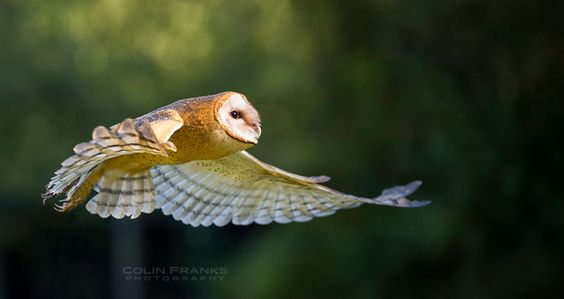 Barn Owl  (Tyto alba) - Colin Franks