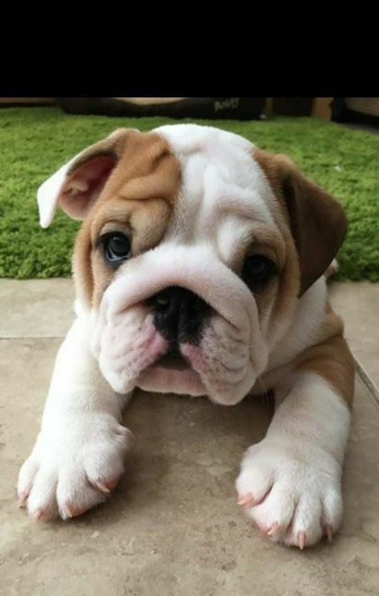 Bulldog Bulldog Puppies Bulldog Wallpaper Bulldog Puppy Dog