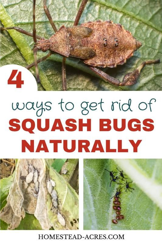 How To Get Rid Of Squash Bugs Squash Bugs Garden Pests Squash