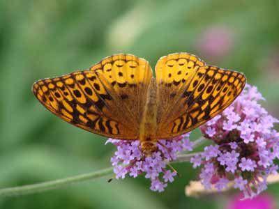 32-9-butterfly-plants