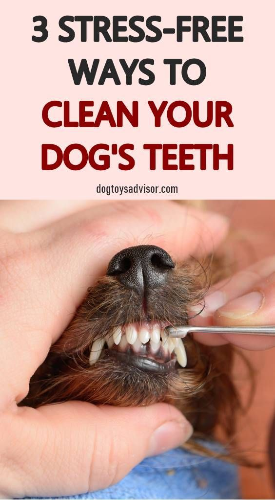 How To Clean Your Dogs Teeth At Home How To Clean Dog Teeth Without Brushing Dog Teethin Dog Teeth Cleaning Dog Teeth Dog Teeth Care