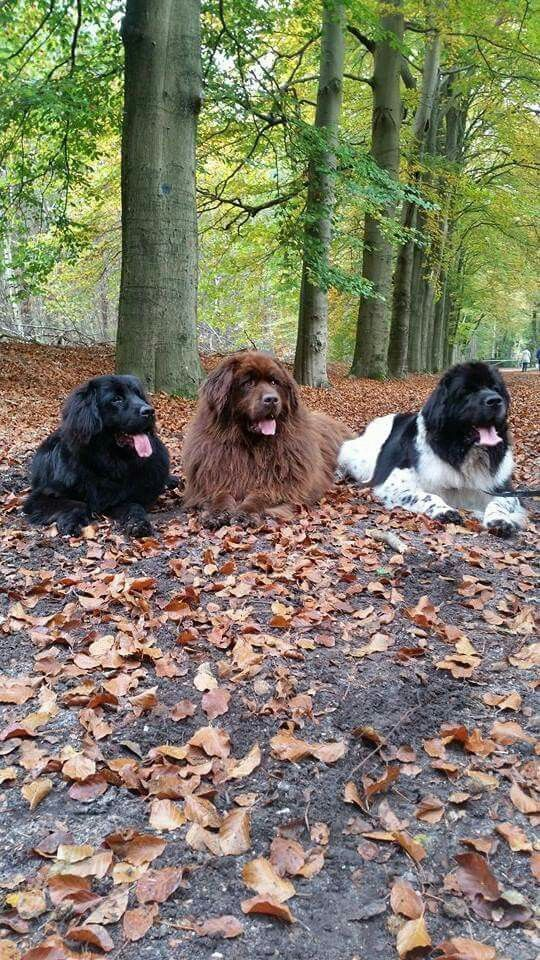 Three Newfoundland Friends Just Hanging Out In The Forest On A Lovely Autumn Day Dog Breeds Of All Kinds Diffe Landseer Dog Dog Breeds Newfoundland Puppies