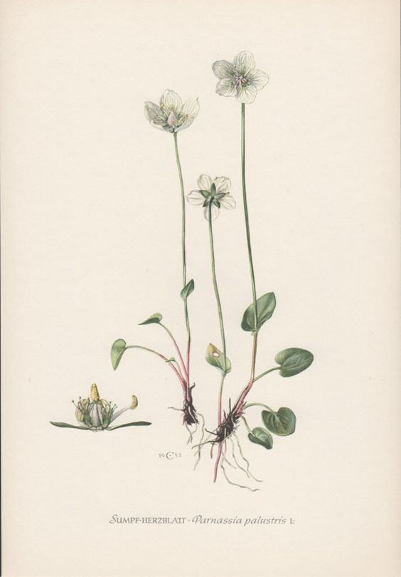 Vintage Botanical Print Parnassia palustris by AntiquePrintGarden
