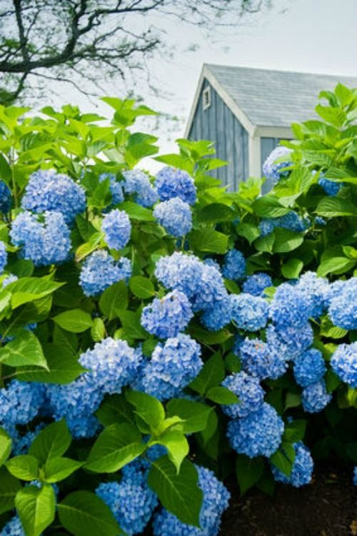 Plants For A Cottage Garden Hollyhocks Lavender Daisies And For An English Garden Planting An Growing Hydrangeas Planting Hydrangeas Blue Hydrangea Plant