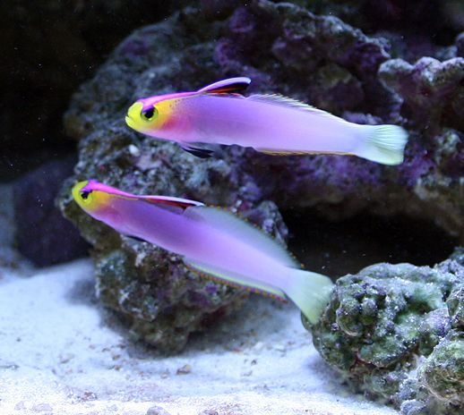 Helfrichi Firefish Nemateleotris Helfrichi Salt Water Fish Saltwater Aquarium Fish Saltwater Fish Tanks