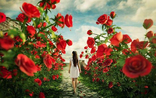 Обои Девушка идет по каменной дорожке между цветущими кустами красных роз