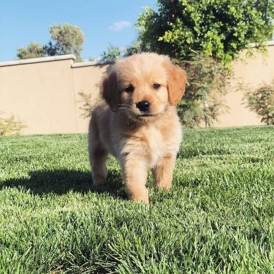 Golden Retriever Puppies Cute Pictures And Facts Retriever Puppy Puppies Cute Dogs Puppies
