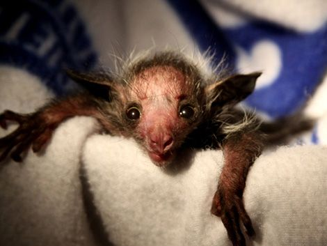 Baby Aye-Aye Named Smeagol Has the Most Accurate Name Ever