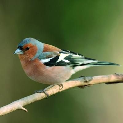 Chaffinch - another popular garden bird. I wonder how they'll fare in the #birdwatch this year?