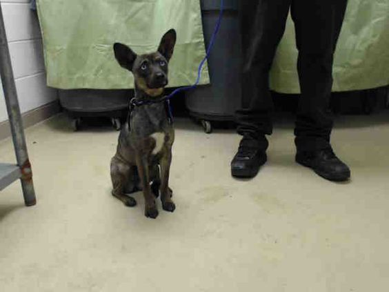 01/06/15 STILL THERE - SUPER URGENT - HOUSTON-This DOG - ID#A421944  I am a female, blue ticked Catahoula Leopard Hound mix.  The shelter staff think I am about 1 year and 1 month old.  I have been at the shelter since Dec 29, 2014.