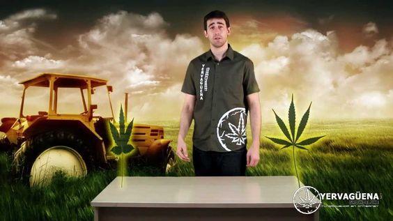 Marihuana: Diferencias entre Indicas y Sativas