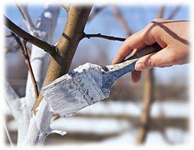 L'hiver est la période idéale pour appliquer de la chaux vive agricole sur le tronc des arbres, et ce, aussi bien au jardin d'ornement qu'au verger. Ainsi protégés, ils accueilleront le printemps...