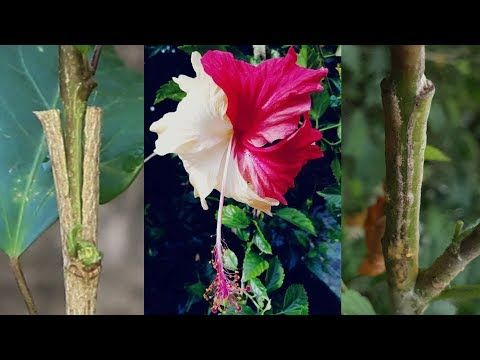 Grafting Hibiscus Tree Different Color Hibiscuses Flower On One