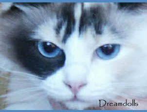 Seal Tortie BiColor, lovely eyes.