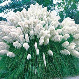 Cortaderia selloana 39 white 39 pampas grass has giant white for Giant ornamental grass