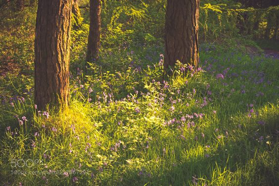 Bluebell Wood. by david1pugh. @go4fotos