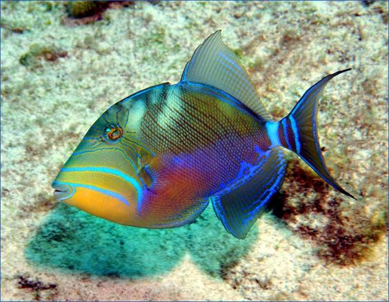 Queen Triggerfish - found on coral rubble, tops of reefs and in grassy areas of the subtropical and tropical western Atlantic.