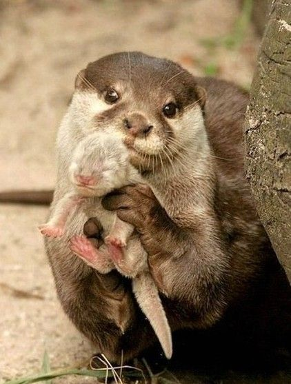 Mamma and baby otter