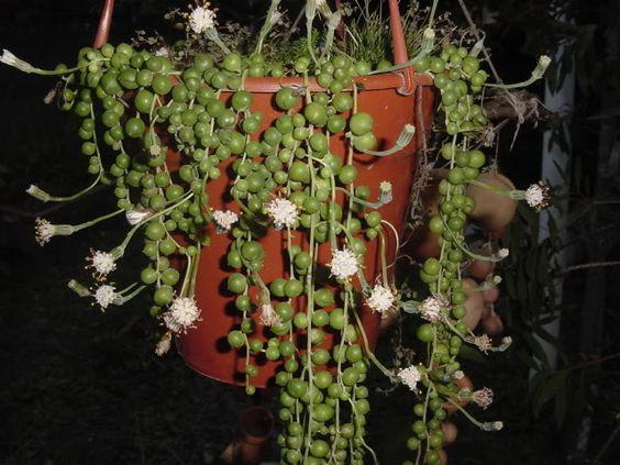 Planta rosario o bolitas colgantes su nombre cient fico - Plantas crasas colgantes ...