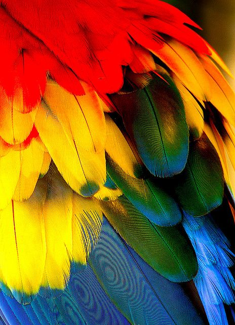 Scarlet Macaw's Feather