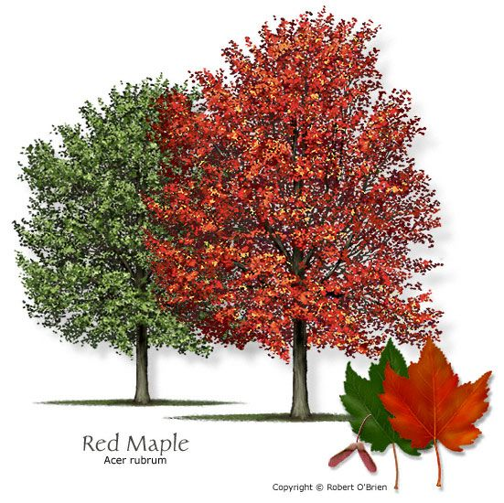 Red Maple Texas native, reliable fall color, attractive ...
