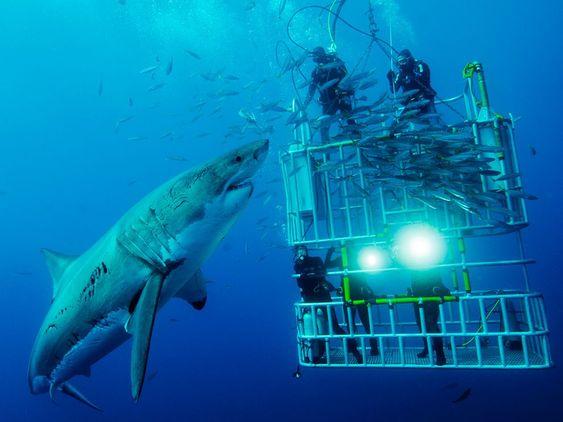 Great White Shark  - the reason I don't go in the ocean