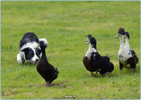 #собаки #колли #собака #животные #россия #серпухов #москва #самара #люблюсобак #добро #ум #вмиреживотных #2016 #спб #мир #animals #animal #dogs #dog #killie #lovedog #moskow #russia #world #awesome #породы #породистые