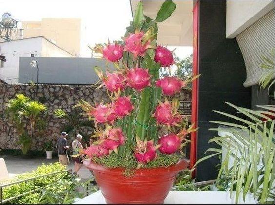 how to grow dragon fruit pitaya