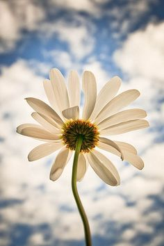 daisy ----------- This reminds me of my Nana. Derek and I had them at our wedding in memory of her.