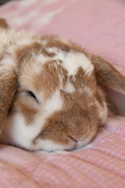Bambi the Lop Eared Bunny  6 years old in July 2012  Born in Thornton Heath, UK   lives in Vihti, Finland