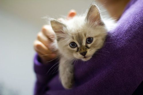 Ragdoll Kittens For Sale Near Me In 2020 Ragdoll Kitten Kittens Devon Rex Kittens