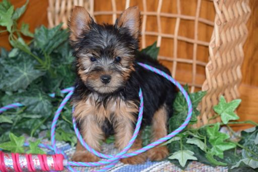 Yorkshire Terrier Puppy For Sale In Fredericksburg Oh Adn 64829 On Puppyfinder Com Gender With Images Yorkshire Terrier Puppies Yorkshire Terrier Yorkshire Terrier Dog