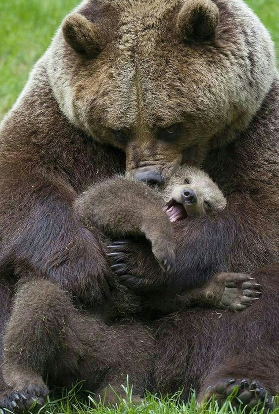 Happy Grizzly Bear Cub Playing With Mamma!