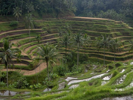 The magical rice paddies of Ubud