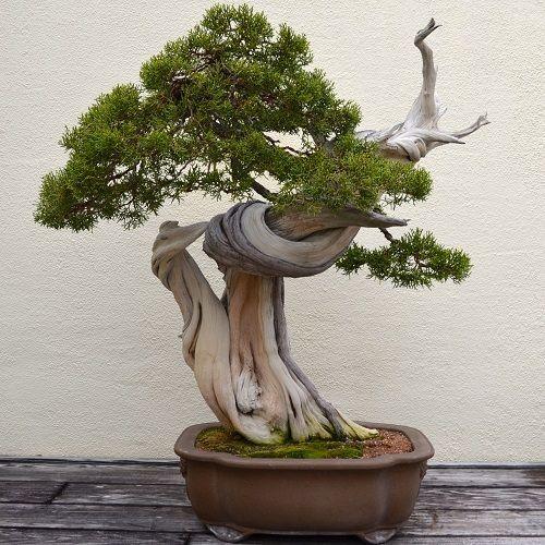 12 Best Indoor Bonsai Trees For Beginners Balcony Garden Web In 2020 Indoor Bonsai Tree Bonsai Techniques Juniper Bonsai