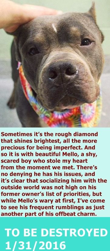 GONE 1-31-2016  --- Manhattan Center  My name is MELLO. My Animal ID # is A1063614. I am a male gray and white pit bull mix. The shelter thinks I am about 4 YEARS old.  I came in the shelter as a STRAY on 01/26/2016 from NY 10451, owner surrender reason stated was STRAY. http://nycdogs.urgentpodr.org/mello-a1063614/