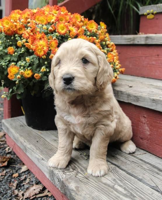 Francesca Mini Goldendoodle Puppy For Sale In Ickesburg Pa Lancaster Puppies Mini Goldendoodle Goldendoodle Puppy For Sale Goldendoodle